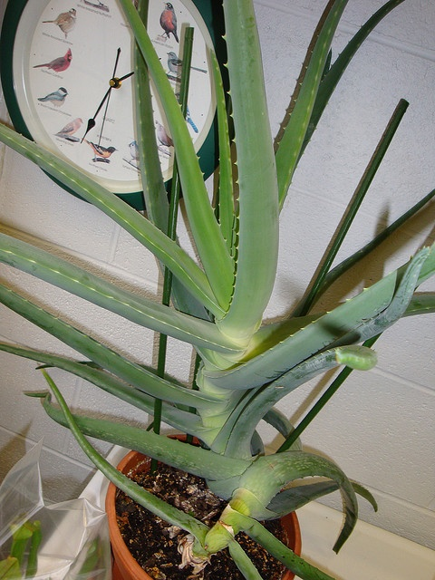 Scientific name: Aloe vera    Common name: Aloe vera, medicinal aloe    Location: PhilaU Campus    Aloe vera probably originated in Northern Africa, the Canary islands and Cape Verde. It thrives in arid climates and is widely distributed in Africa. The spe Tips on Diet. More information at www.herbsforhealthonstate.com