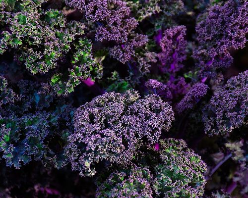 Curly Kale. Image by Steve.