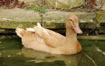 Buff Orpington Duck - Facts about Buff Orpington Ducks. Buff Orpington Ducks are used for egg production as well as for meat. The Buff Orpington Duck is a dual-pro