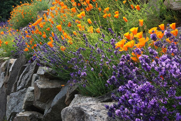Lavender grows alongside orange poppies in a rock garden, an ideal spot for lavender because it provides good drainage.