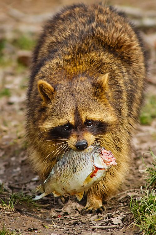 1240 best raccoons images on pinterest racoon raccoons for Do raccoons eat fish