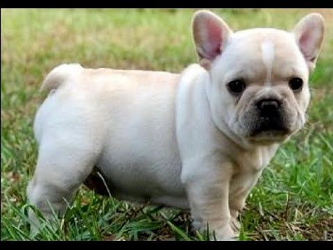 French Bulldog Dog Show 2016 WKC Westminster Kennel Club