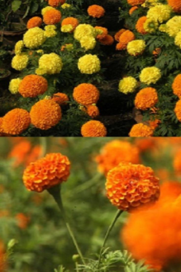 Marigold Flower Garden In Bangladesh How To Plant, Grow, And Care ...