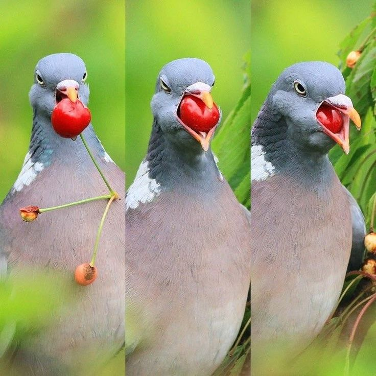 Pigeon eating a cherryhttps://i.redd.it/knf9cbvdkxo21.jpg ...