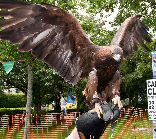 Golden Eagle Size | Golden Eagle Wingspan | Birds Hawks ...