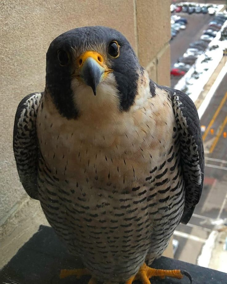 "Life on Earth on Twitter: """"Our office building has a Peregrine Falcon who recently took a liking to me and my office window..""… """