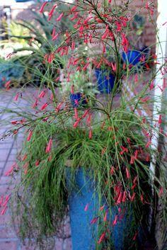 Firecracker fern in a blue pot