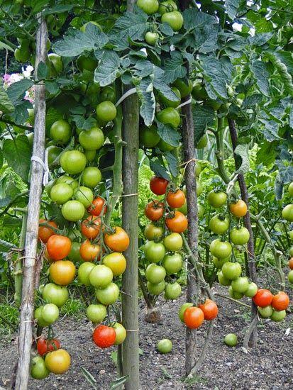 kudy-kam: Omáčka z pečených rajčat