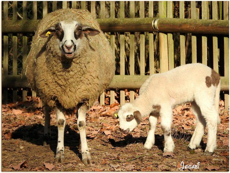 https://flic.kr/p/QSv9Lr | Maman et bébé - Mother and baby -Explore 2017-01-08 #104 | + 3 photos in comments ---- Le mouton de miroir est originaire du Prättigau, des Grisons et des régions limitrophes. De taille moyenne, robuste, haut sur pattes il possède une toison assez grossière. Son nom provient de l'apparence claire et lisse, comme un miroir, de son front. L'abdomen et les membres sont dépourvus de laine. Les mâles ainsi que les femelles ne possèdent pas de cornes. Le dessin foncé sur…
