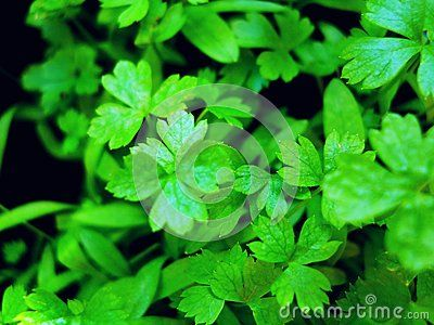 Colorful photo of green parsley in the garden,gardening