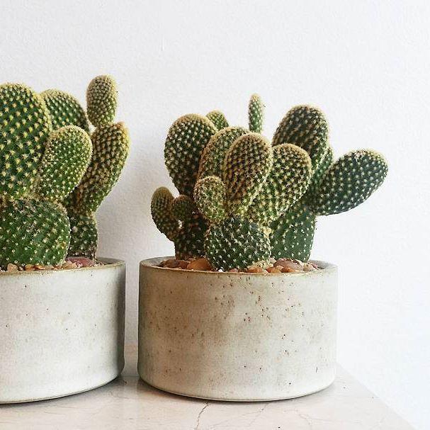 bunny ears catci in locally made @oscarandkennedy ceramic #handmadeceramic #locallymade #madeineastvan #madeinvancouver #oscarandkennedyceramics #oscarandkennedy #plantdesign #livingdecor  #bunnyearscactus #cacti #californiagrown #bespokebotanicalbeauty #plantdesign #bloomroomvancouver #bloomroombotanicalgallery #eastvanplantshop #mountpleasantplantshop #fraserhoodplantshop #vancouverplantshop #eastvan #mountpleasant #fraserhood #vancouver #vancity #plantshop #plantstore #houseplants…