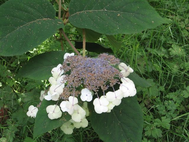 The Flower Cluster of a  Rough-leaf Hydrangea, Hydrangea aspera
