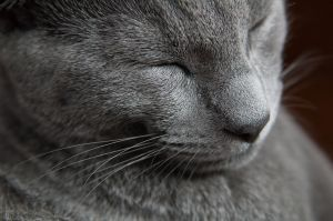Google Image Result for http://www.catsofaustralia.com/images/russian-blue-cat-3.jpg    The silver tipped fur... grey nose... and always happy expression... must be a Russian Blue!