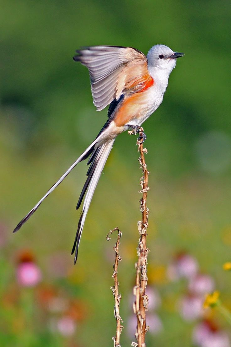Scissor-tailed flycatcher (Tyrannus forficatus)    is perched on an Arkansas Yucca surrounded by Prairie Coneflower & other native wildflowers in Dallas, Texas.
