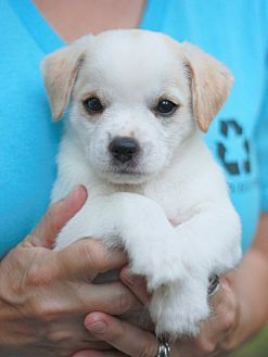 Allentown, PA - Chihuahua/Terrier (Unknown Type, Small) Mix. Meet Finn RBF, a puppy for adoption. https://www.adoptapet.com/pet/19421432-allentown-pennsylvania-chihuahua-mix