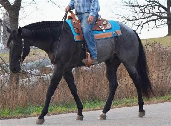 Check out this amazing Blue Roan QH Pleasure/Trail/Ranch Gelding Quarter Horse for sale in Troy, Michigan USA!