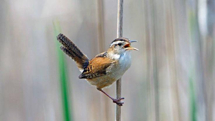 Suara Kicau Burung Dapat Meningkatkan Produktivitas Padi