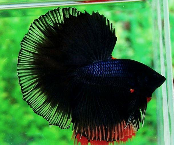 Halfmoon Fighter Fish