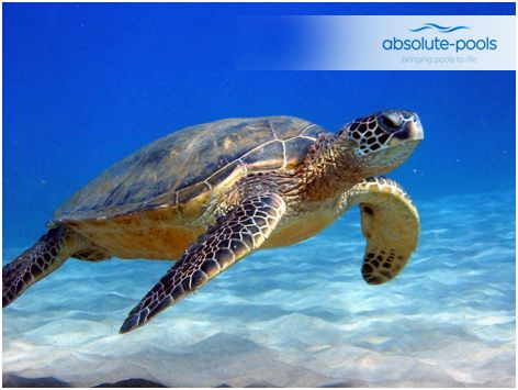 Quick fact:  #Turtles possess the ability to absorb oxygen directly from the water in which they swim.   #absolutepools #swimmingpools #Dubai #UAE #poolservices #poolmaintainance #MyDubai