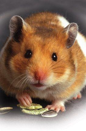 Pet hamster nibbling food