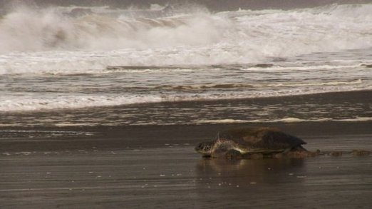 Tired from nesting and laying, a mother green sea turtle approaches the southern ocean. Photo by David Arthur.