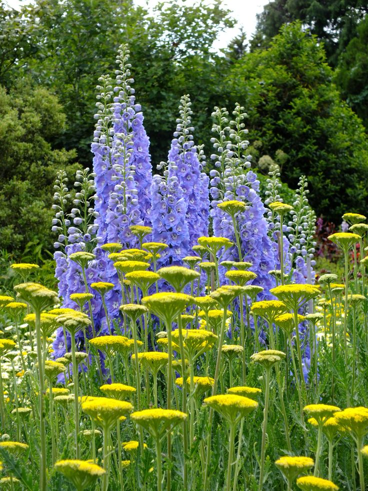 What great partners: delphiniums and yarrow (Waterperry Garden)