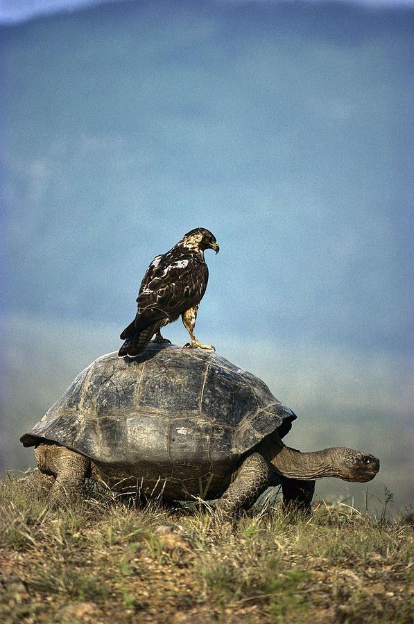 2.25.15 Looks like a Galapagos Tortoise and Raptor