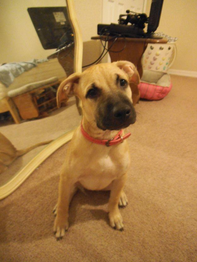 My 6 Month Old Puppy Pitbull Boxer Mix 3 Boxermix Boxer Mix