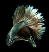Betta : Dragon betta fish, siamese fighting fish isolated on black background