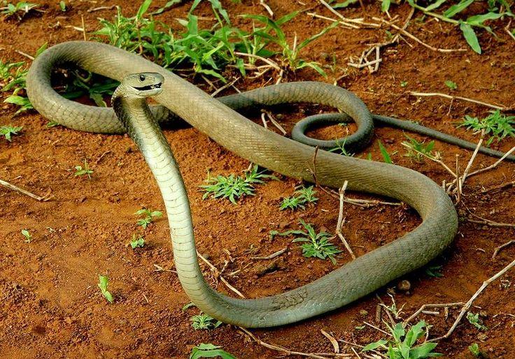 Черная мамба (фото): самая страшная и ядовитая змея  Смотри больше http://kot-pes.com/chernaya-mamba-foto-samaya-strashnaya-i-yadovitaya-zmeya/