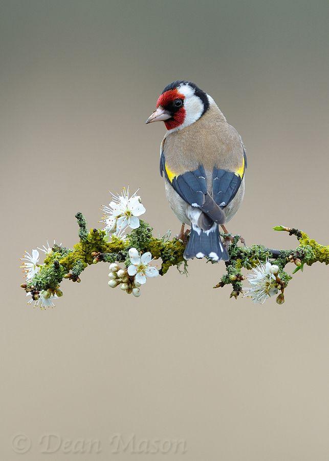 この枝がまた きみのために作られたかのように似合いすぎよ 完璧 Goldfinch on Sloe Blossom.