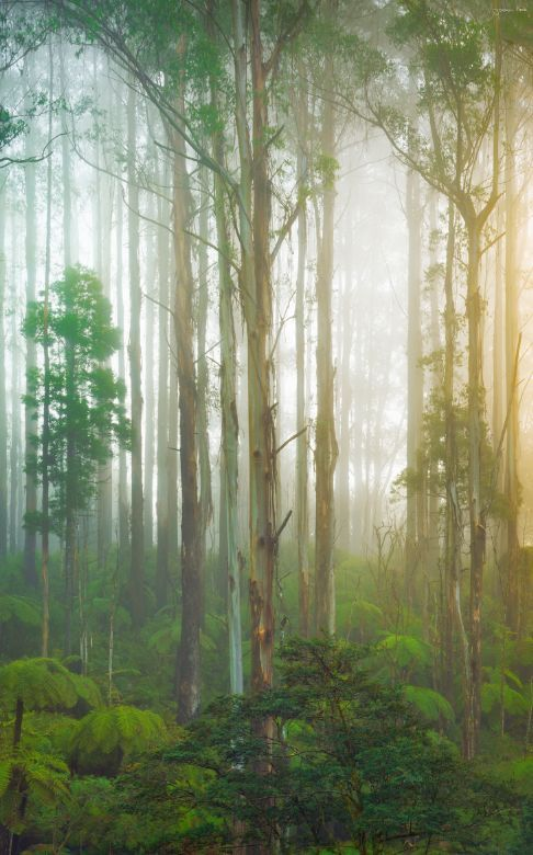 ~~Yarra Ranges | foggy forest landscape, Victoria, Australia, located in the…