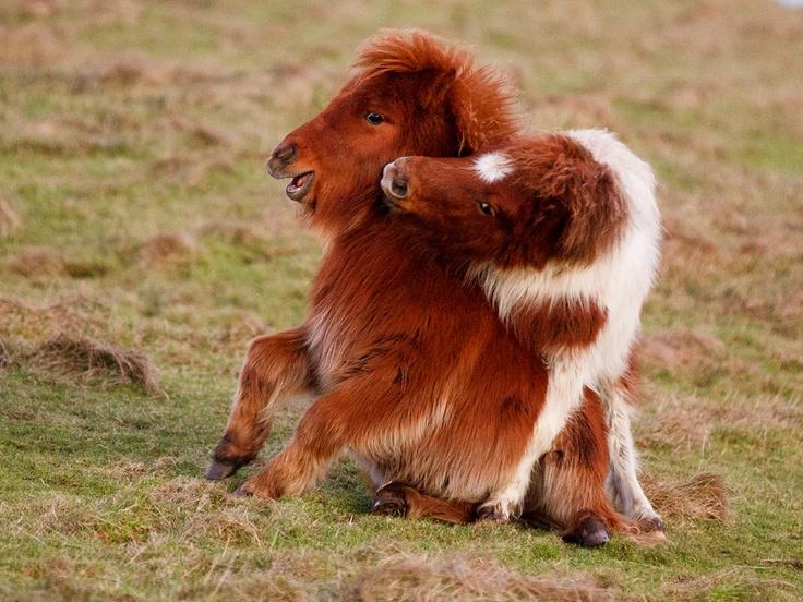 61 best Shetland ponies. images on Pinterest | Equestrian, Bucket ...