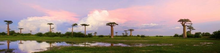 Madagascar Baobab Panoramic by Heinrich van den Berg on www.digitalgallery.co.za