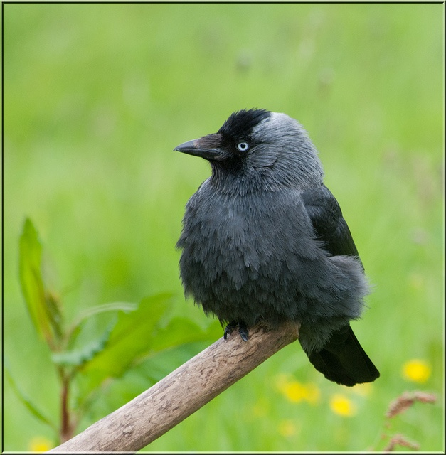 So THIS is what a Jackdaw looks like. AWWWW