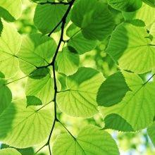 Fototapet - Glowing Leaves