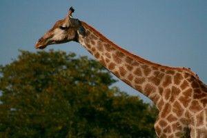 Eden Qigong Massage Giraffe at Chobe National Park