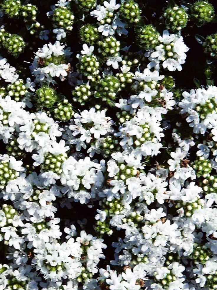 Backtimjan, Thymus serpyllum 'Albus' - Krypande växtsätt med små, mörkgröna aromatiska blad som bildar en matta. Fin marktäckare som behöver delas när den blir kal i mitten. De vita blommorna är mycket omtyckta av bin. Passar mycket bra att växa i fogar, stenparti, mur, grusträdgård och slänt. Trivs i full sol i lätt, väldränerad jord. Torktålig. Blommar juni-juli.