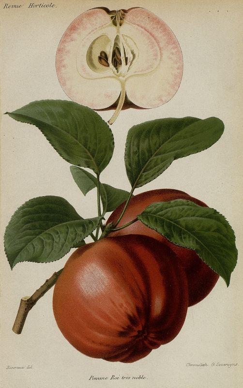 SNHF | Pomme Roi très noble