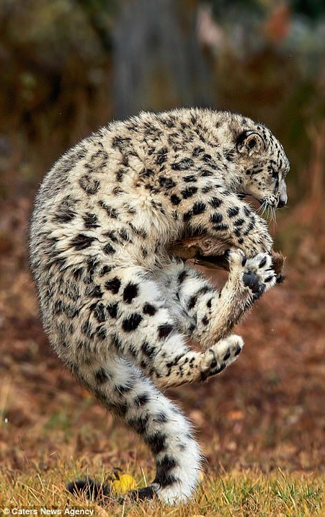 Snow leopard cub pulls off Tigger impression in Montana | Daily Mail Online