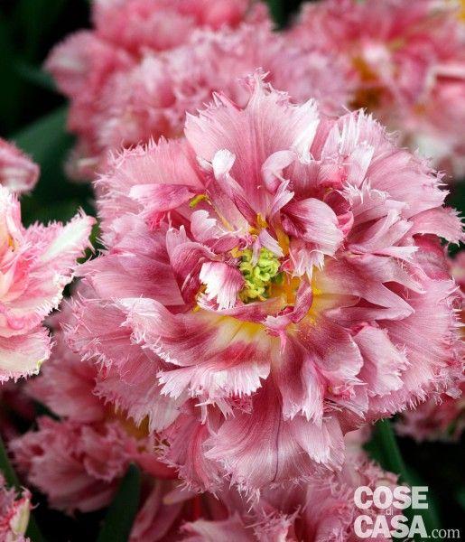 Tulipani  Vi suggeriamo il classico Innuendo di colore rosa acceso e luminoso, alto solo 40 cm. Poi l'intrigante Cafè noir che più di ogni altro in giardino avvicina il sogno del colore nero perfetto e il frangiato Cool crystal per stupire con i suoi fiori uno leggermente diverso dall'altro, simili a una peonia. Infine lo stupendo Blushing lady, una scelta per chi apprezza i particolari come il petalo dal taglio irregolare.
