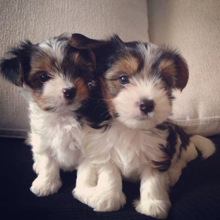 Puppy little biewer yorkie terriers