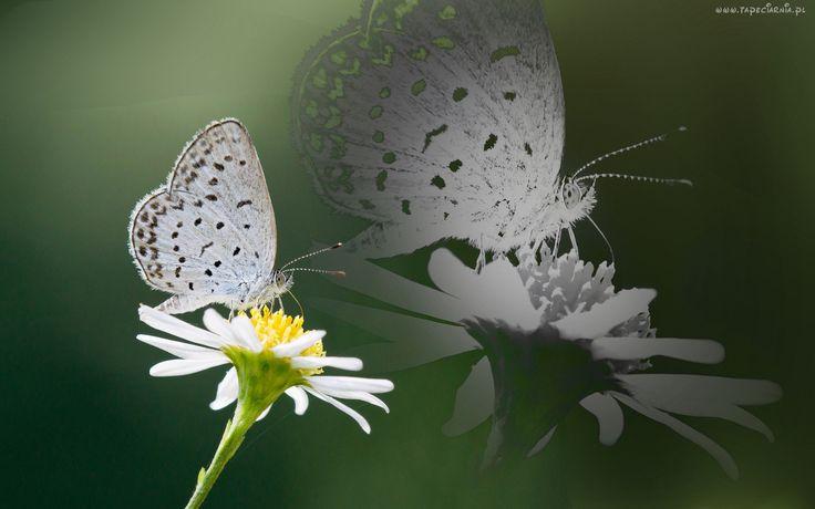 Moty, Kwiatek