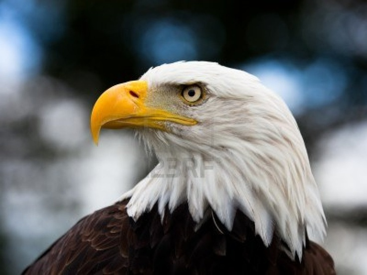 Bald Headed Eagle, close up shot with blurred background Stock Photo - 10367469