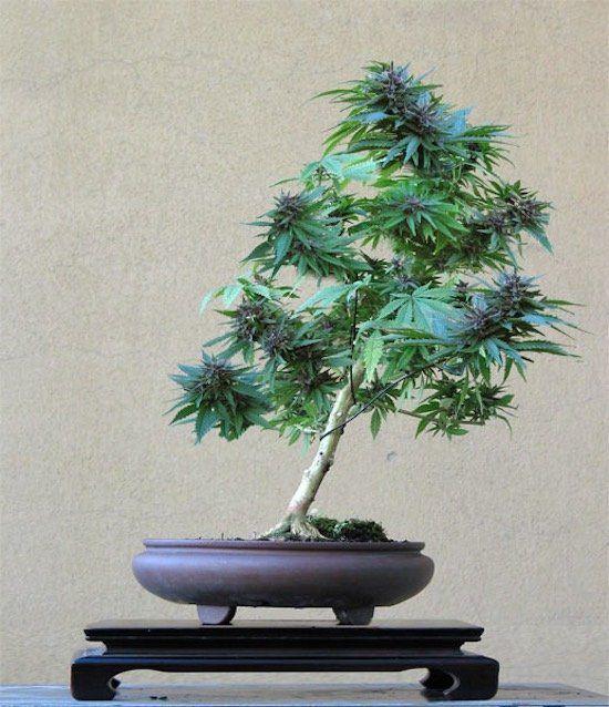 Si vous avez peu d'espace, la solution de transformer votre plante de cannabis en bonsaï est l'une des meilleures solutions pour économiser de l'espace.
