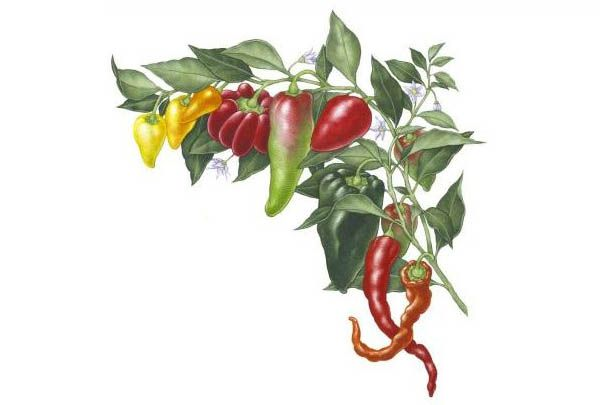 All About Growing Peppers - Organic Gardening