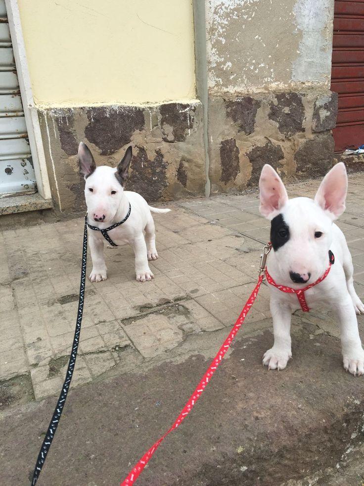 Bull Terrier Puppy Madre In Sardegna