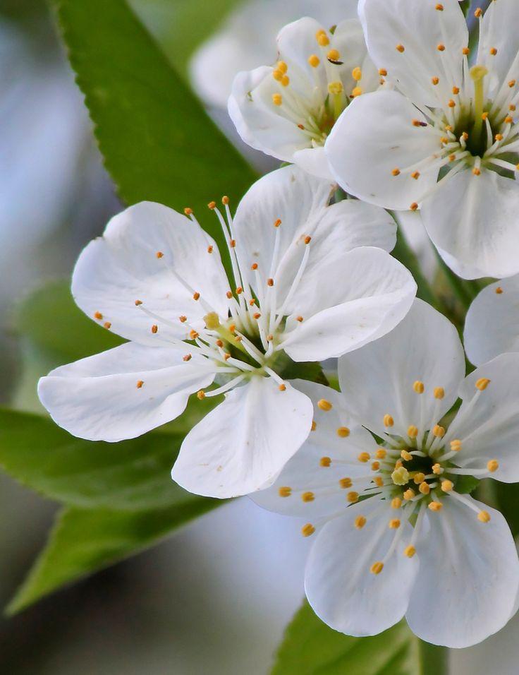cherry plum florais de bach - Pesquisa Google