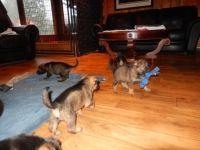 200x150 100 1 c FFFFFF 4eccaf9e313df2bf4c6f5ddc71445301 German Shepherd Puppies