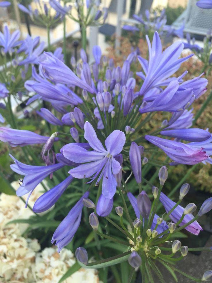 agapanthe bleu azur